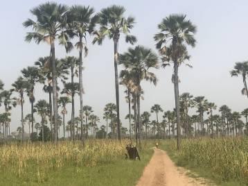 Palmeral Senegal